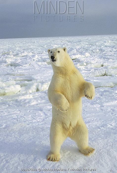 Polar Bear (Ursus maritimus) standing, Churchill, Manitoba, Canada  -  Michio Hoshino