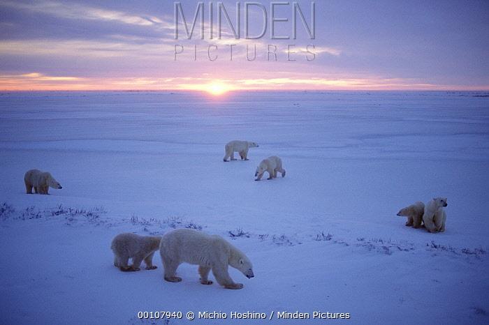 Polar Bear (Ursus maritimus) group on ice field, Churchill, Manitoba, Canada  -  Michio Hoshino