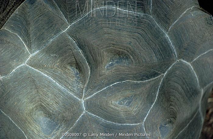 Galapagos Giant Tortoise (Chelonoidis nigra) carapace, Galapagos Islands, Ecuador  -  Larry Minden