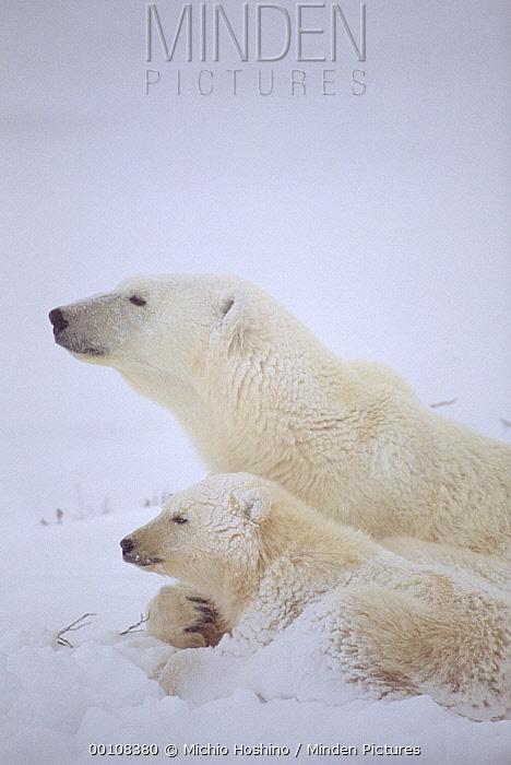 Polar Bear (Ursus maritimus) mother and cub covered in snow, Churchill, Manitoba, Canada  -  Michio Hoshino