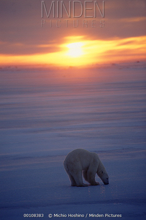 Polar Bear (Ursus maritimus) on icefield at sunset, Churchill, Manitoba, Canada  -  Michio Hoshino