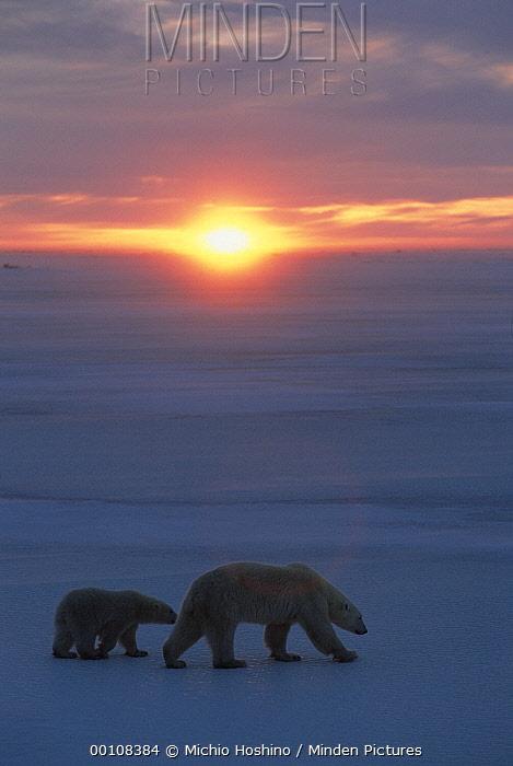 Polar Bear (Ursus maritimus) mother and cub crossing ice filed at sunset, Churchill, Manitoba, Canada  -  Michio Hoshino