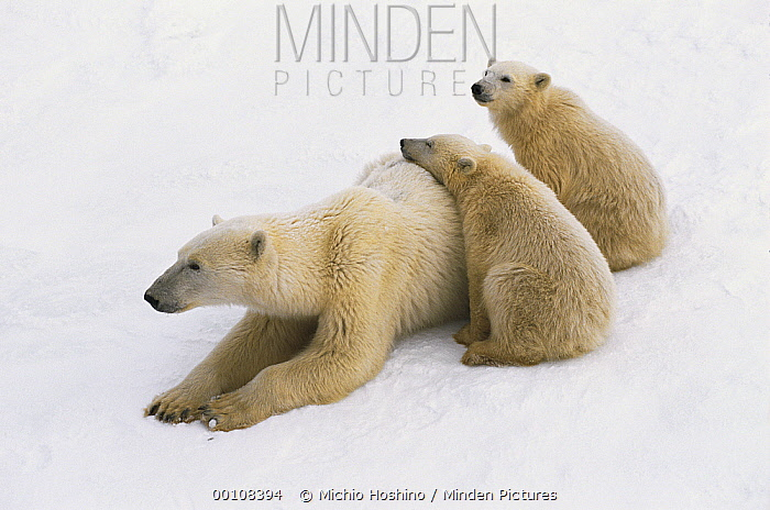 Polar Bear (Ursus maritimus) mother with two cubs resting in the snow, Churchill, Manitoba, Canada  -  Michio Hoshino