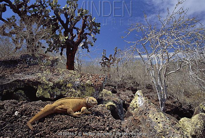 Galapagos Land Iguana (Conolophus subcristatus) and Prickly Pear (Opuntia sp) cactus, Galapagos Islands, Ecuador  -  Michio Hoshino