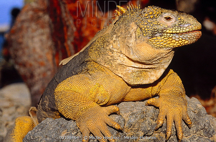 Galapagos Land Iguana (Conolophus subcristatus) sunning on rock, Galapagos Islands, Ecuador  -  Michio Hoshino