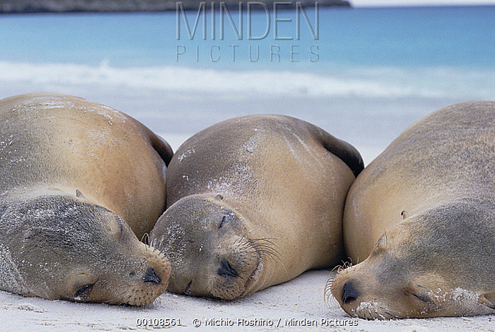 Galapagos Sea Lion (Zalophus wollebaeki) trio resting on a beach, Galapagos Islands, Ecuador  -  Michio Hoshino