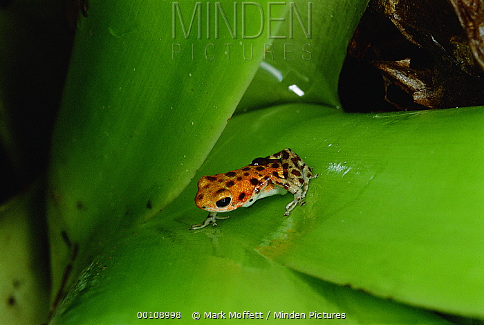 Strawberry Poison Dart Frog (Oophaga pumilio) mother carries tadpoles, one by one, to canopy where she seeks little pools of water in leaf bracts of bromeliads and other canopy plants, Bastimentos Island, Bocas del Toro, Panama  -  Mark Moffett