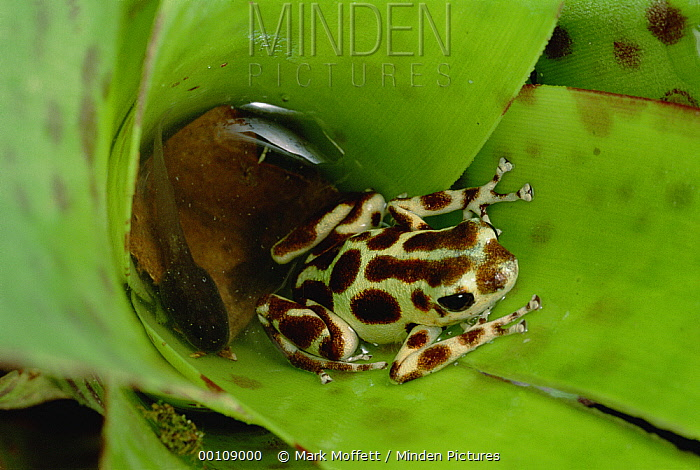 Strawberry Poison Dart Frog (Oophaga pumilio) mother deposits tadpoles, one by one, to pools of water in canopy bromeliad, scattering them among the trees, Bastimentos Island, Bocas del Toro, Panama  -  Mark Moffett