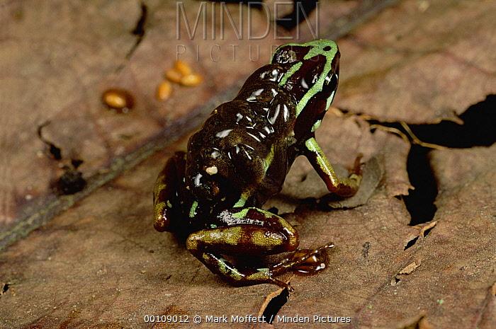 Ecuador Poison Frog (Epipedobates bilinguis) with tadpoles on its back, Napo River, Amazonia, Ecuador  -  Mark Moffett