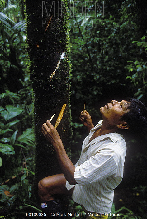 Embera Choco Indian collecting curare from the sap of a tree which is used to poison the tips for hunting arrows, Colombia  -  Mark Moffett