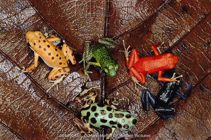 Strawberry Poison Dart Frog (Oophaga pumilio) group showing color variation from different islands, Bocas del Toro, Panama