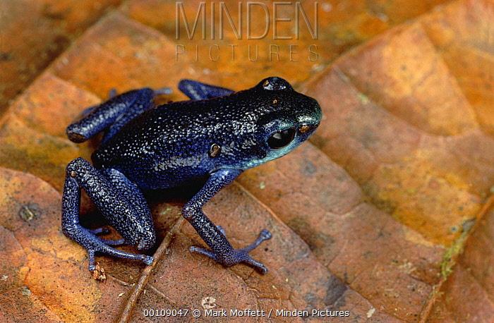 Strawberry Poison Dart Frog (Oophaga pumilio), Split Hill, Panama  -  Mark Moffett