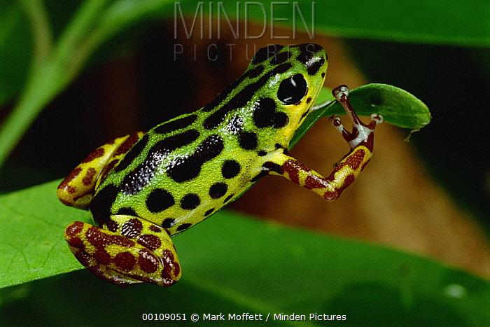 Strawberry Poison Dart Frog (Oophaga pumilio) portrait, Colon Island, Panama  -  Mark Moffett