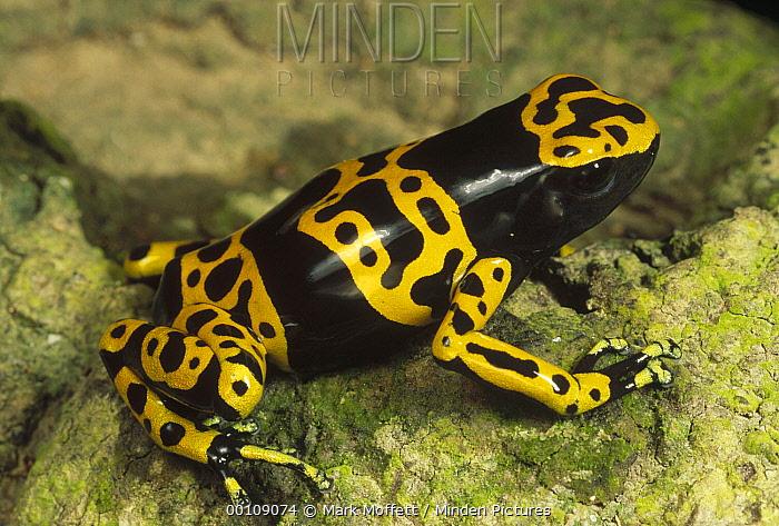 Yellow-banded Poison Dart Frog (Dendrobates leucomelas) portrait, Venezuela  -  Mark Moffett