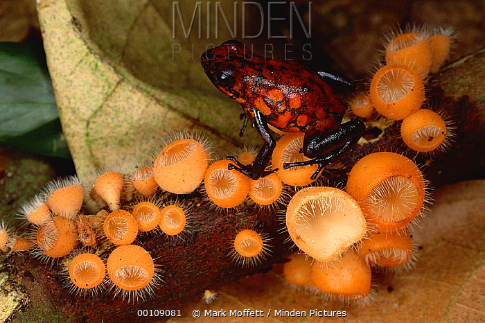 Harlequin Poison Dart Frog (Dendrobates histrionicus) on cup fungus, Ecuador  -  Mark Moffett