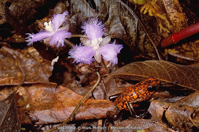 Harlequin Poison Dart Frog (Dendrobates histrionicus) crossing forest floor littered with leaves, Ecuador  -  Mark Moffett