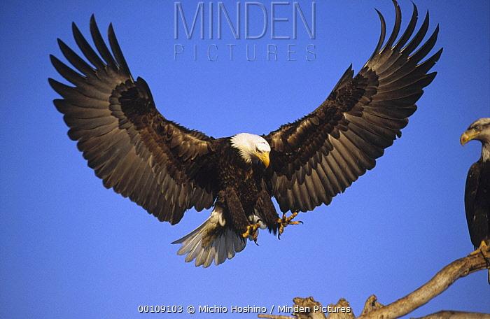 Bald Eagle (Haliaeetus leucocephalus) landing, Alaska  -  Michio Hoshino