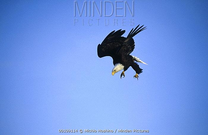 Bald Eagle (Haliaeetus leucocephalus) diving, Alaska  -  Michio Hoshino