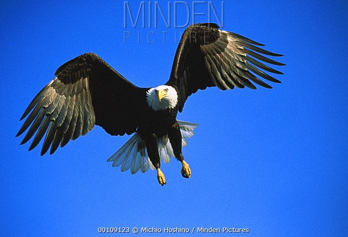 Bald Eagle (Haliaeetus leucocephalus) flying, Alaska  -  Michio Hoshino