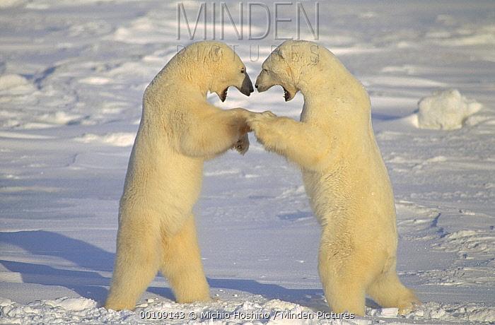 Polar Bear (Ursus maritimus) males fighting, Churchill, Manitoba, Canada  -  Michio Hoshino
