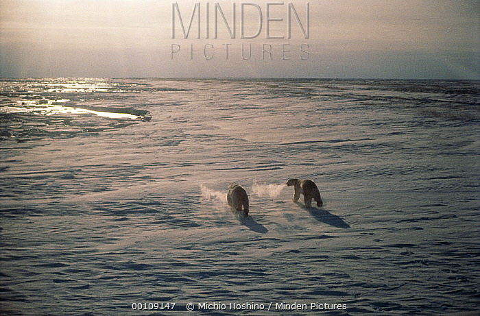 Polar Bear (Ursus maritimus) pair crossing icefield, Churchill, Manitoba, Canada  -  Michio Hoshino