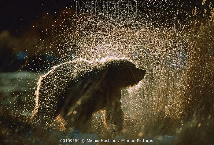 Grizzly Bear (Ursus arctos horribilis) shaking off water after a bath, Alaska  -  Michio Hoshino