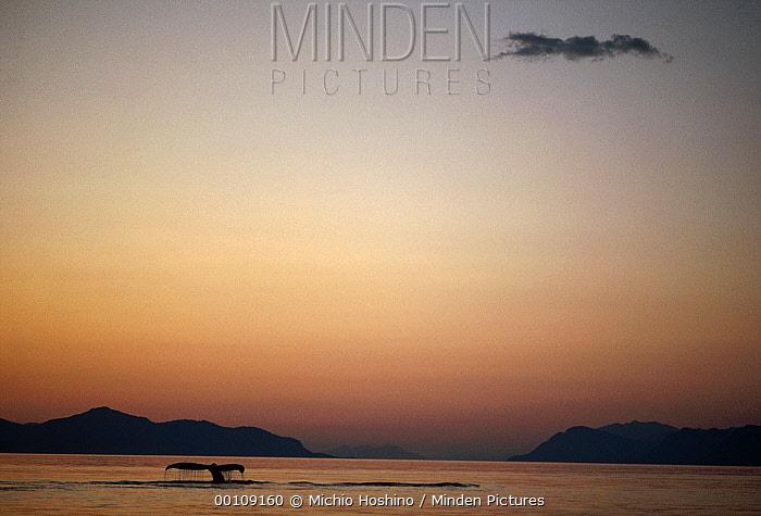 Humpback Whale (Megaptera novaeangliae) tail at sunset, southeast Alaska  -  Michio Hoshino