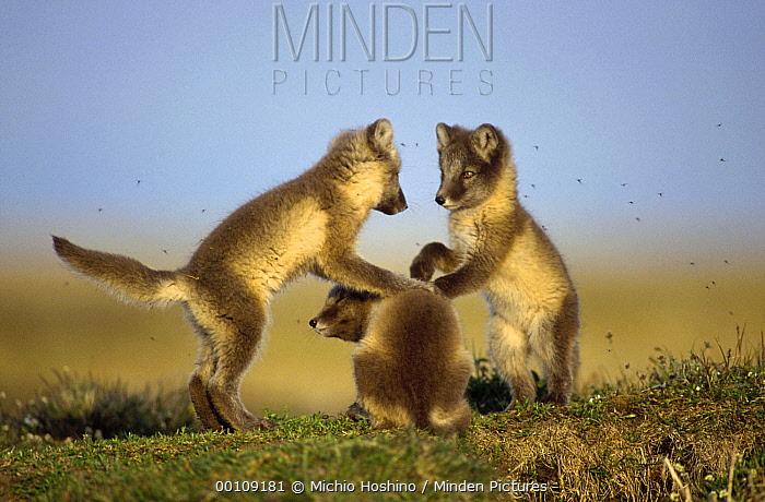Arctic Fox (Alopex lagopus) trio of pups playing, Alaska  -  Michio Hoshino
