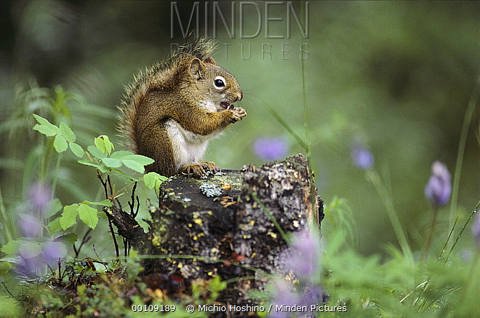 Red Squirrel (Tamiasciurus hudsonicus) feeding atop tree stump, Alaska  -  Michio Hoshino