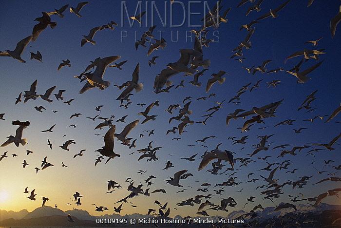 Gull (Larus sp) flock flying at sunset, Alaska  -  Michio Hoshino