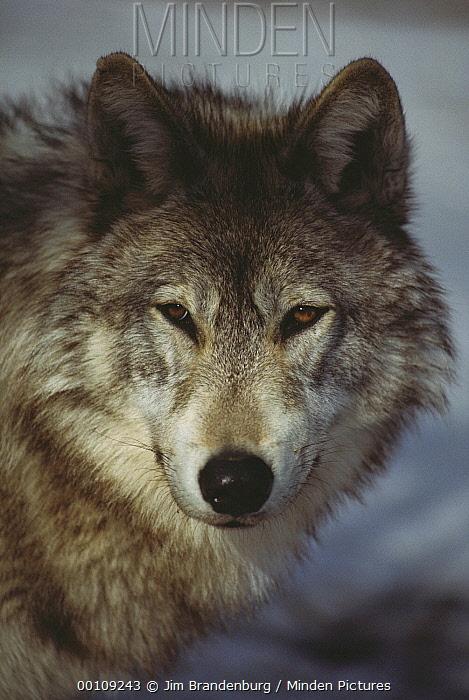 Timber Wolf (Canis lupus) portrait, Nova Scotia, Canada  -  Jim Brandenburg