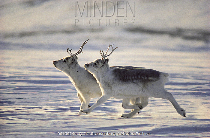 Peary Caribou (Rangifer tarandus pearyi) pair running, Ellesmere Island, Nunavut, Canada  -  Jim Brandenburg