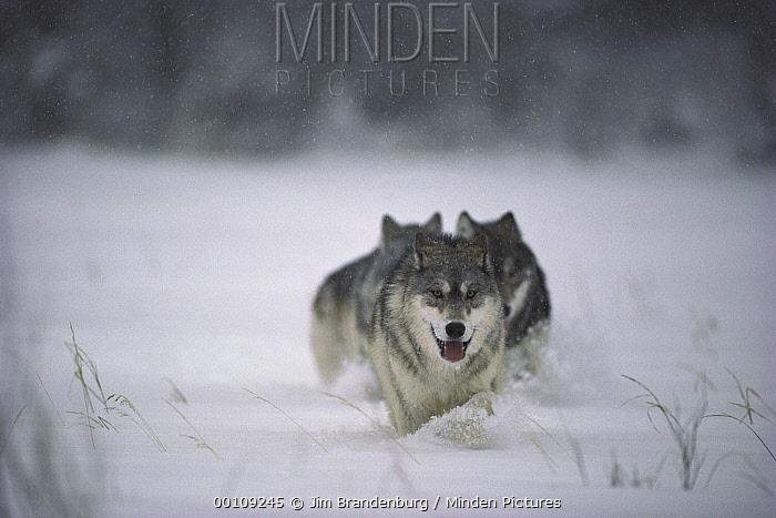 Timber Wolf (Canis lupus) trio running through deep snow, Minnesota  -  Jim Brandenburg