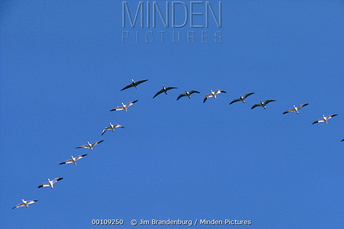 Snow Goose (Chen caerulescens) flock flying in formation during migration, with individuals of both color phases, California  -  Jim Brandenburg