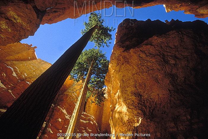 Douglas Fir (Pseudotsuga menziesii) pair reaching towards the sky, Bryce Canyon National Park, Utah  -  Jim Brandenburg