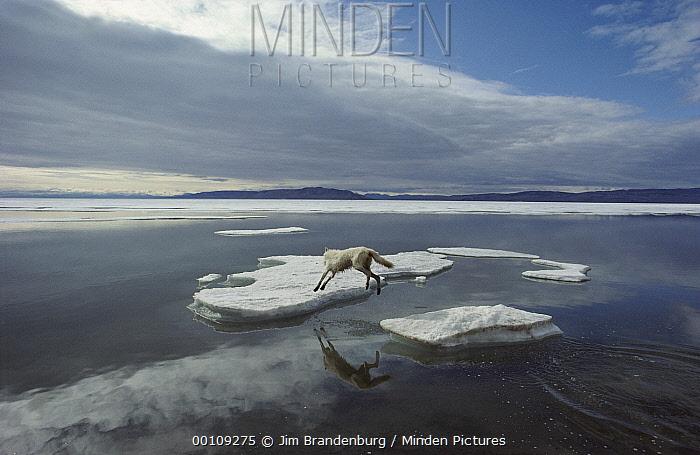 Arctic Wolf (Canis lupus) leaping onto ice floe, Ellesmere Island, Nunavut, Canada  -  Jim Brandenburg