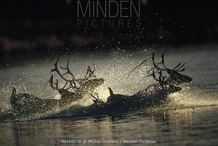 Caribou (Rangifer tarandus) group crossing through river during migration, Alaska  -  Michio Hoshino