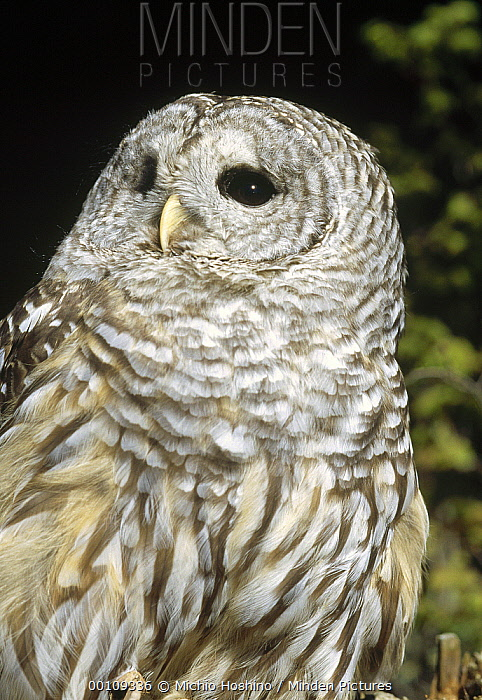 Barred Owl (Strix varia), Alaska  -  Michio Hoshino