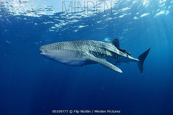 Whale Shark (Rhincodon typus) portrait, largest shark in the world, Cocos Island, Costa Rica  -  Flip Nicklin