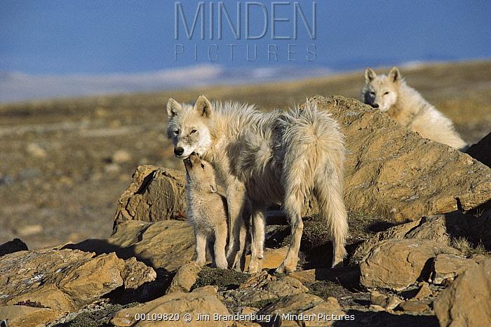 Arctic Wolf (Canis lupus) with begging pup, Ellesmere Island, Nunavut, Canada  -  Jim Brandenburg