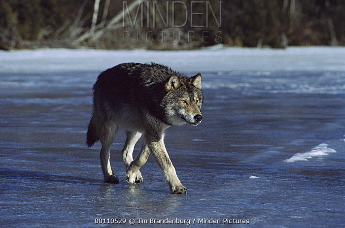 Timber Wolf (Canis lupus) walking on frozen lake, Minnesota  -  Jim Brandenburg