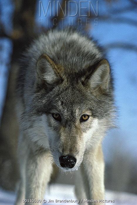 Timber Wolf (Canis lupus) portrait in snow, Minnesota  -  Jim Brandenburg