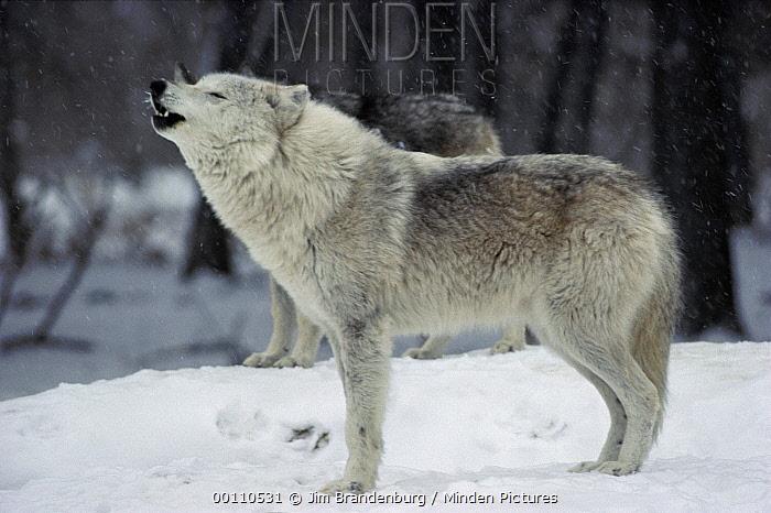 Timber Wolf (Canis lupus) female in white phase howling, Minnesota  -  Jim Brandenburg