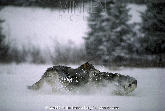 Timber Wolf (Canis lupus) pair playing in snow, Minnesota  -  Jim Brandenburg