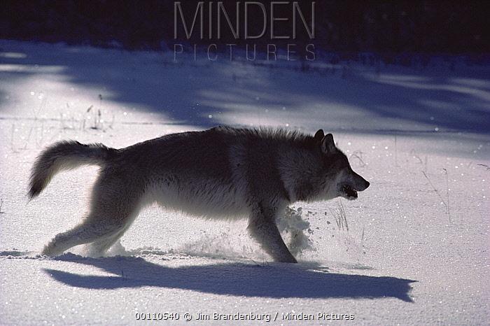 Timber Wolf (Canis lupus) running in snow, Minnesota  -  Jim Brandenburg