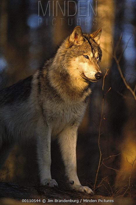 Timber Wolf (Canis lupus) portrait, Northwoods, Minnesota  -  Jim Brandenburg