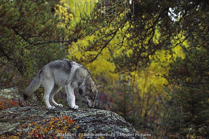 Timber Wolf (Canis lupus) smelling tracks, Minnesota  -  Jim Brandenburg