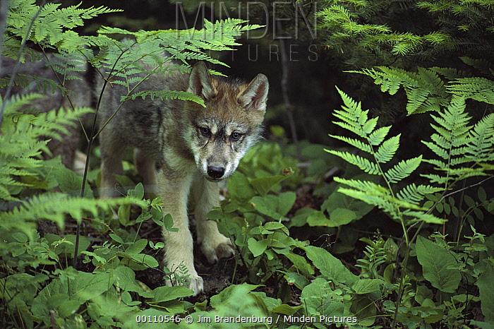 Timber Wolf (Canis lupus) pup in forest undergrowth, Minnesota  -  Jim Brandenburg