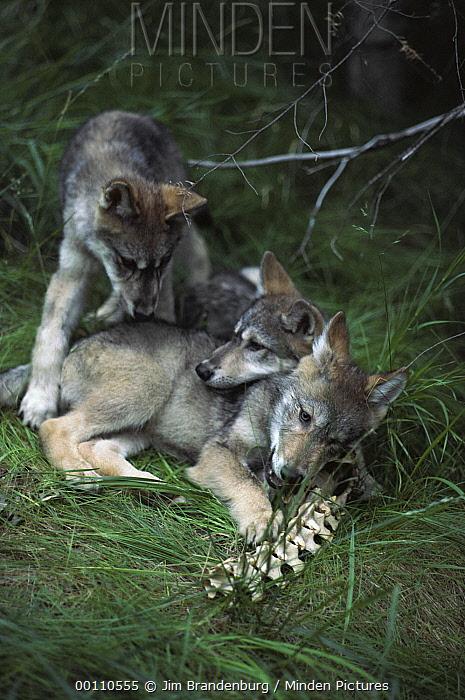 Timber Wolf (Canis lupus) pups playing with bones, Minnesota  -  Jim Brandenburg