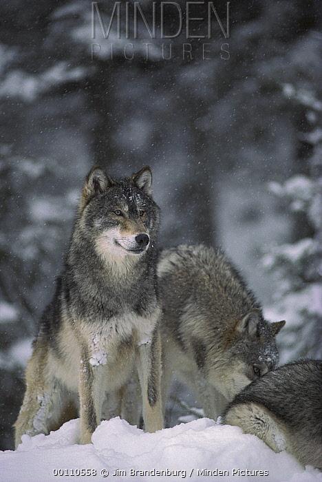 Timber Wolf (Canis lupus) trio in snow, Minnesota  -  Jim Brandenburg